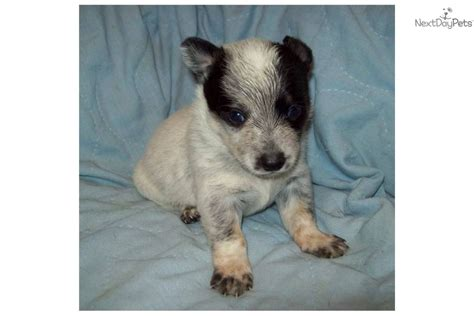 blue heeler puppies for sale in oregon australian cattle puppies rescue and adoption near you autos post