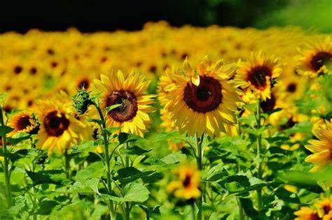 significato fiori tatuaggio girasole significato significato fiori