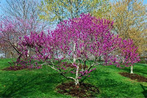 redbud tree cercis canadensis var texensis texas redbud