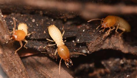 termite   termite control