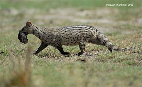 Inidia Cat 24 nature india tours bharatpur birding in world s best