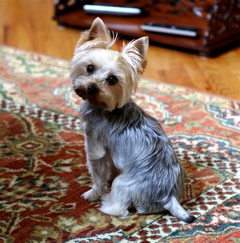 yorkie grown size teacup yorkie information treehousepuppies