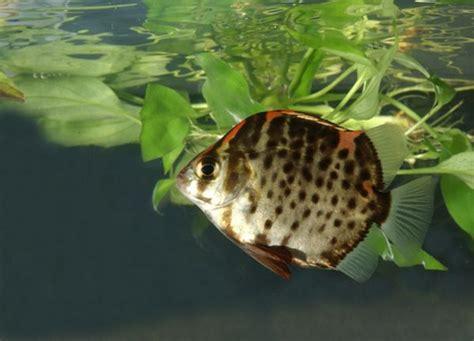 ini dia ikan hias ruby yang cantik serta mudah