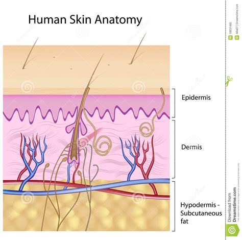 epidermis stock photo images 1 157 epidermis royalty free images and photography available to human skin anatomy non labeled version royalty free stock photo image 18631485