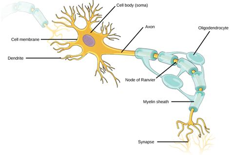 neuron diagram and functions neurons and glial cells biology ii