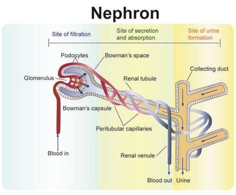 diagram of earthworm excretory process the excretory system