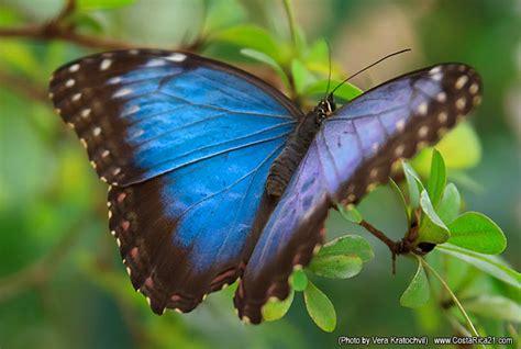 imagenes de mariposas national geographic mariposas de costa rica mariposa morfo azul fotos de
