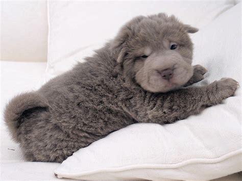 coat shar pei puppies coat shar pei djur coat shar pei shar pei and bears