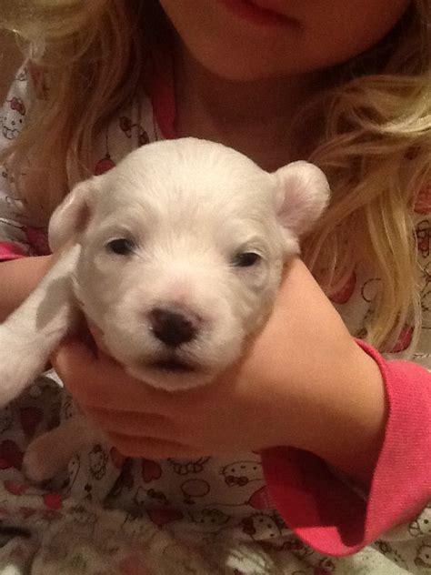 maltichon puppies maltichon puppies for adoption breeds picture