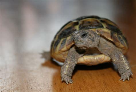tartarughe alimentazione testudo hermanni