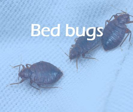 bed bugs alaska 741 best images about bed bug on pinterest bed bug spray