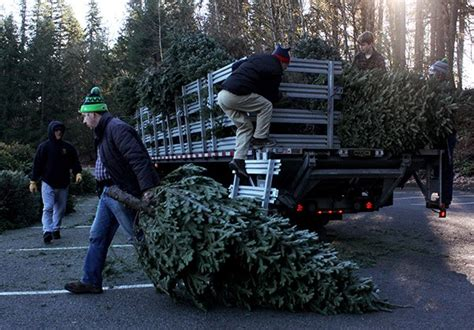 christmas tree recycling issaquah scouts recycle trees on plateau issaquah highlands slideshow issaquah sammamish