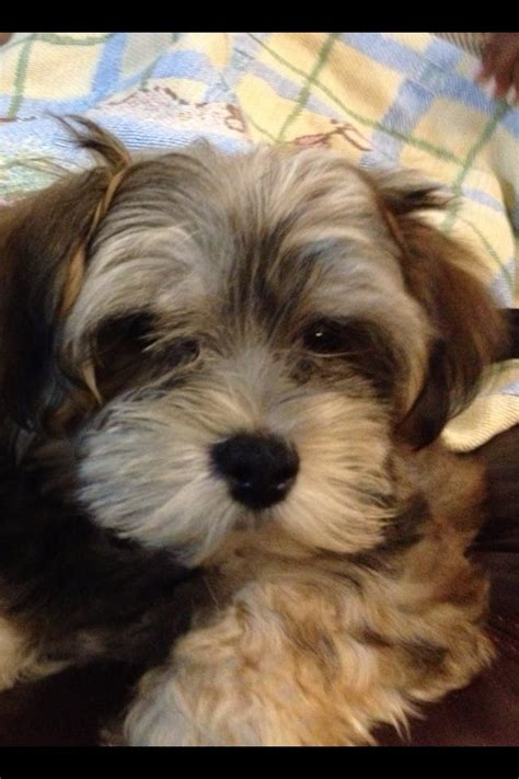 teacup yorkie mixed with maltese maltese and yorkie mix teacup www imgkid the image kid has it