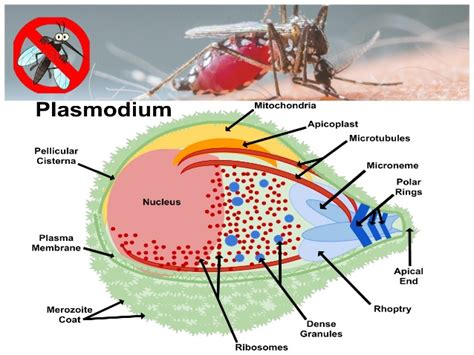 plasmodium falciparum diagram plasmodium falciparum cell diagram coccidia diagram
