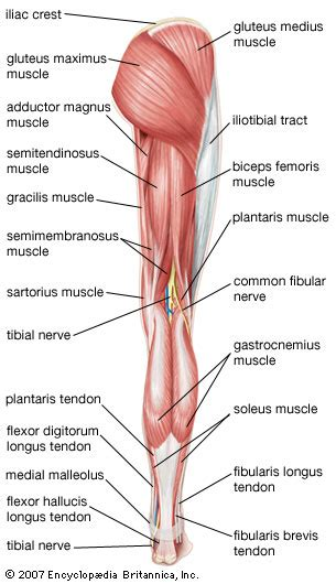 leg anatomy leg anatomy britannica