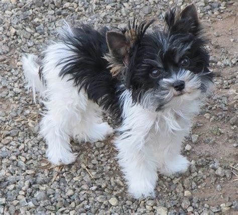where to get a yorkie puppy biewer terrier breed information and pictures