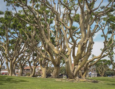 pictures of trees coral trees seaport village in san diego coral trees