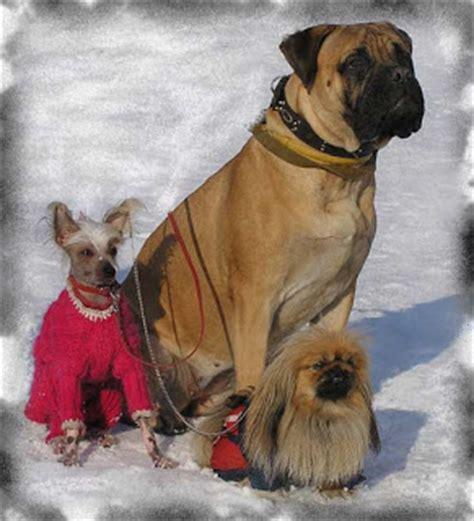 pomeranian puppies for sale in sri lanka pomeranian dogs for sale in sri lanka