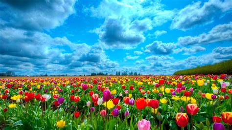 tulip field tulip flowers hd wallpapers free download
