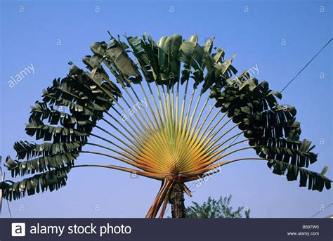 planting fan palm trees palm tree plant in fan shape in lagos nigeria africa stock