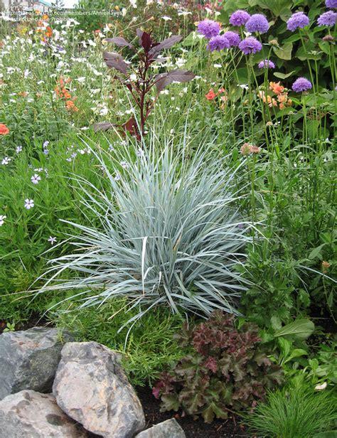 Garden Of Wheatgrass Plantfiles Pictures Blue Wheat Grass Blue Lyme Grass