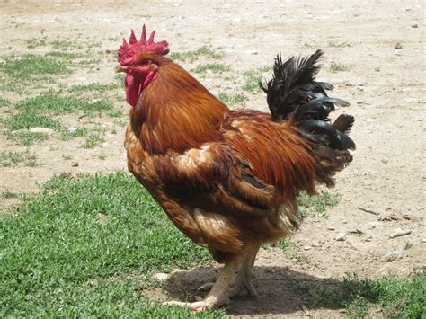 imagenes animales de granja dibujos de los animales de la granja para preescolar car