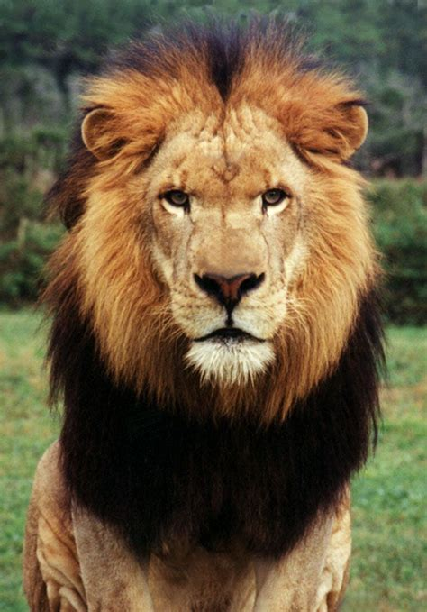 google images lion african male lion face google search vbs pinterest