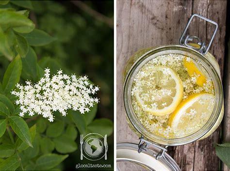 fiori di sambuco proprietà ghiaccioli e sciroppo di sambuco le ricette di