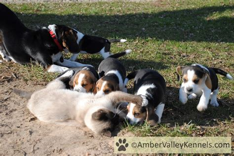 beagle puppies for sale in md valley kennels beagle puppies for sale in maryland