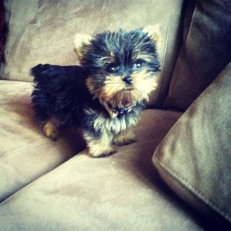 how big will my yorkie get my teacup yorkie puppy i can t freaking wait i m gonna tears of when i