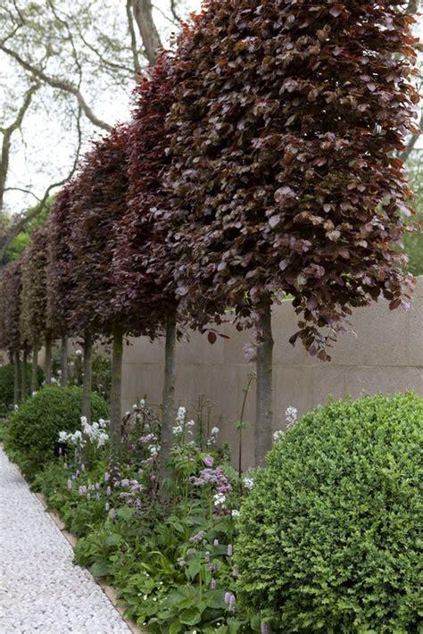 Small Patio Trees by Trees For Small Gardens Fagus Sylvatica Atropurpurea