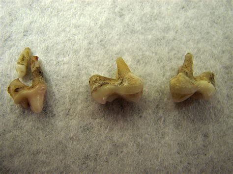 pug teeth extraction the pug tags surgery owned by pugs