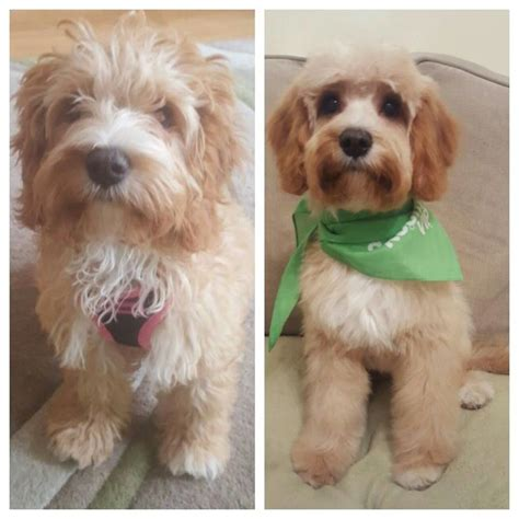 cockapoo haircuts before and after cockapoo grooming pictures pinterest cockapoo