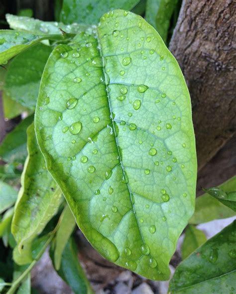 imagenes de hojas otoñales hoja de ping 252 ica popular uso y propiedades curativas
