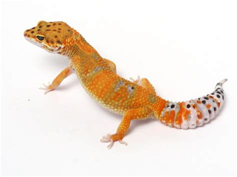 Leopard Gecko Xtreme Tangerine F tangerine leopard gecko 01 090112b gecko