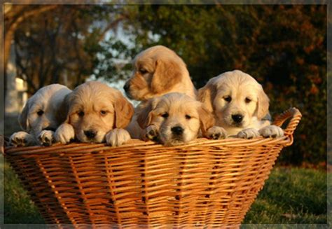 real golden retriever real golden retriever puppies for sale photo