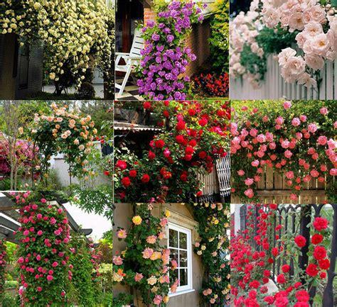 fiori di co primaverili 450 seeds climbing shrub balcony hedge tree flowers