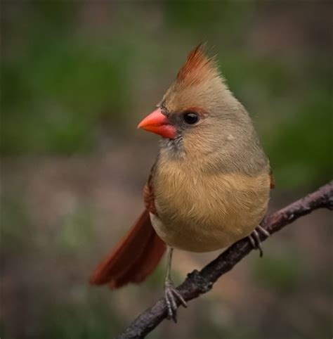 northern cardinal, immature female: newvusa: galleries