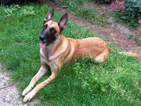 malinois dogs belgian malinois info temperment care puppies pictures