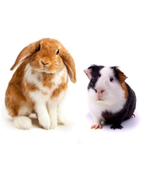 Put Your Chicken Or Rabbit Or Guinea Pig In An Omlet Omlet Eglu by Can I Give My Rabbit Guinea Pig Food Can I Give My Rabbit