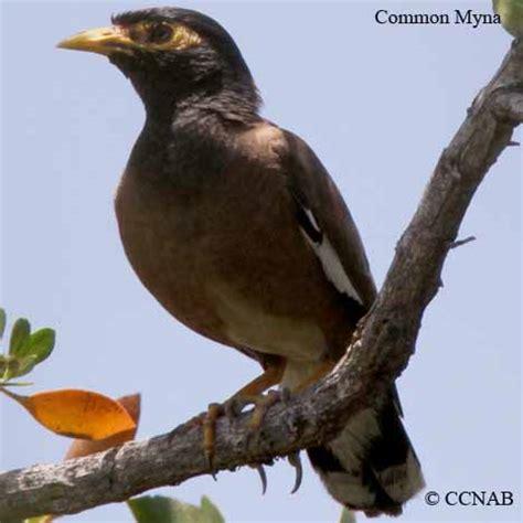 mynas north american birds birds of north america