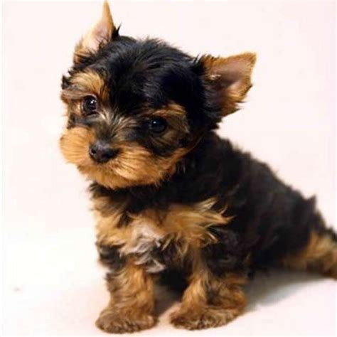 teacup silky yorkie for sale 25 best ideas about teacup terrier on teacup teacup