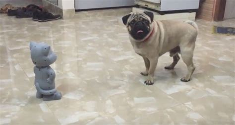 pug talking pug encounters a talking tom how he says quot you can t get me quot prepare to rofl