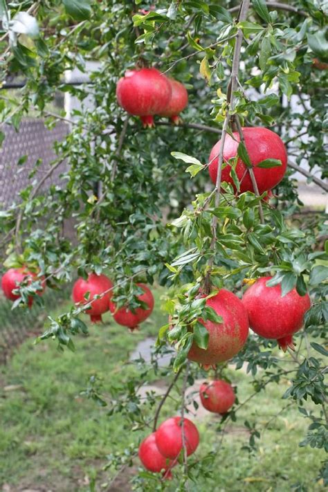 fruit trees names pomegranate punica granatum tropical fruit tree granada
