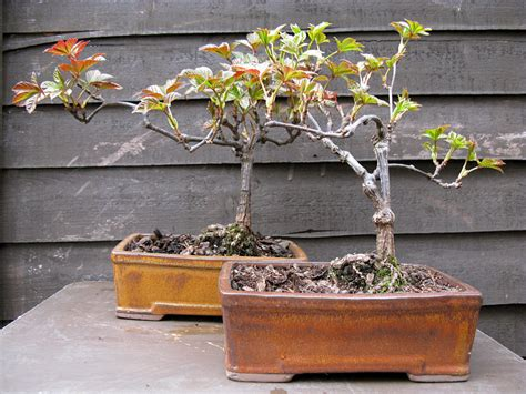 create your own bonsai graphicality uk make your own bonsai trees