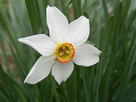 fiori narciso narciso coltivazione