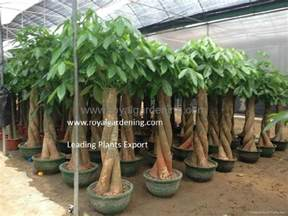 Money Tree Plant Flower - pachira macrocarpa royal gardening royal gardening co