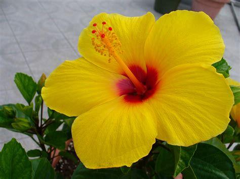 flower wallpaper 1024x768 hibiscus wallpaper 1024x768 42492