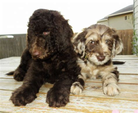 standard aussiedoodle puppies for sale bruno2 096 600x494 png