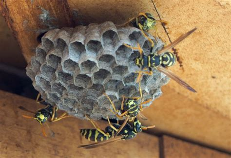 Bees That Make Paper Nests - european paper wasp nest in republic what s that bug